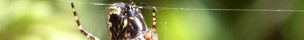 Spider Slide Aculepeira 01